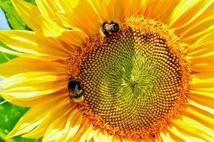 sun-flower-1528868_1920